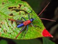 Кузнечик Opaon varicolor