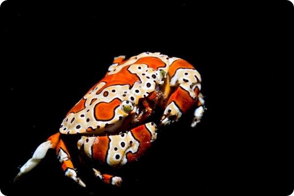 Галечный краб-клоун Platypodiella spectabilis