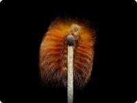 Мегалопигида Megalopyge albicollis