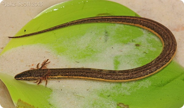 Южный карликовый сирен (лат. Pseudobranchus axanthus)