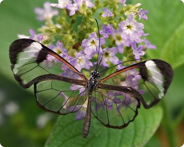 Грета Ото (лат.Greta oto), или стеклянная бабочка