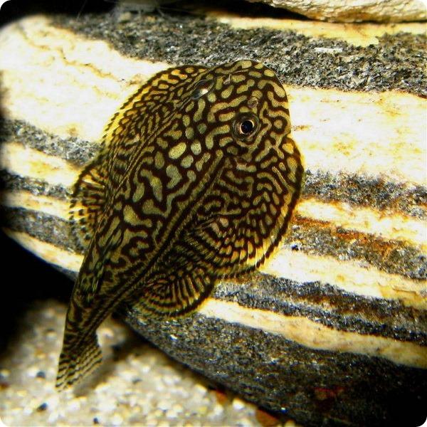 Севелия разлинованная (лат. Sewellia lineolata)