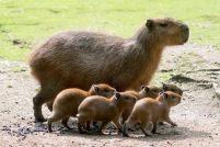 Дружное семейство капибар из зоопарка Берлина