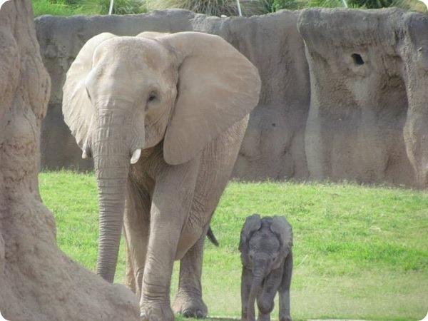 Reid Park Zoo представил детеныша африканского слона