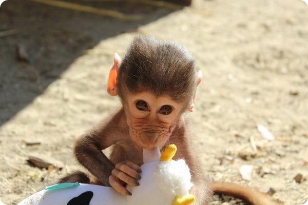 В зоопарке Окленда подрастает детеныш гамадрила