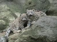 В зоопарке Бронкса родились детеныши снежного барса