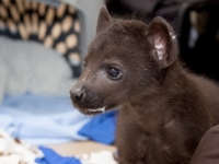Зоопарк Денвера стал новым домом для пятнистых гиен