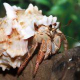 Карибский краб-отшельник