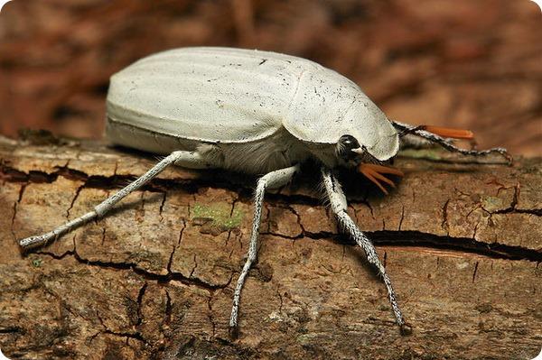 Белый скарабей (лат. Cyphochilus insulanus)