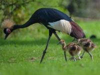 Зоопарк Честера представил птенцов венценосного журавля