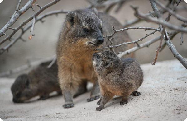 Зоопарк Честера представил детенышей капского дамана