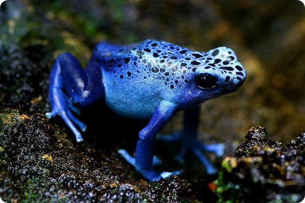 Голубой древолаз (лат.Dendrobates azureus)