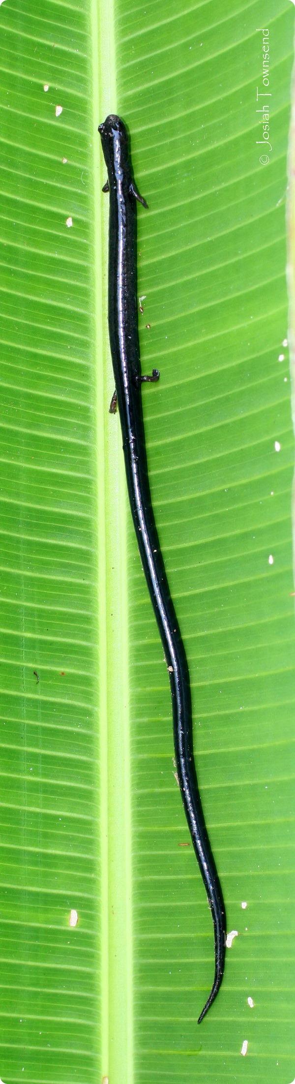 Веретеновидные саламандры (лат. Oedipina)