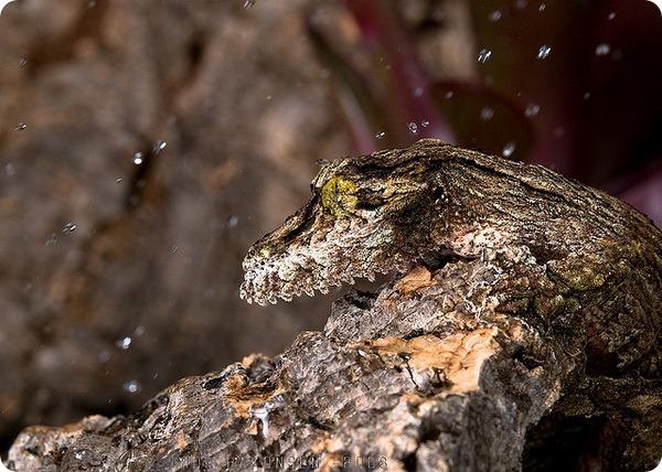 Мшистый плоскохвостый геккон (лат. Uroplatus sikorae)