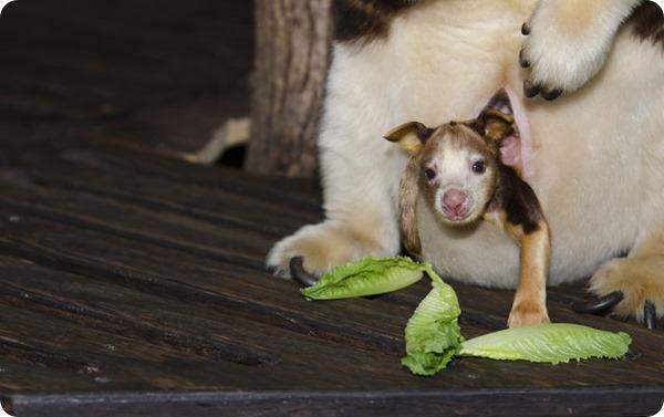 Детеныш древесного кенгуру Матчи из Сент-Луиса
