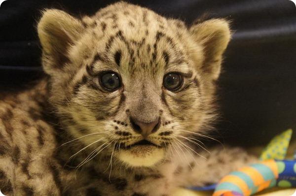 В зоопарке Милуоки родился детеныш снежного барса