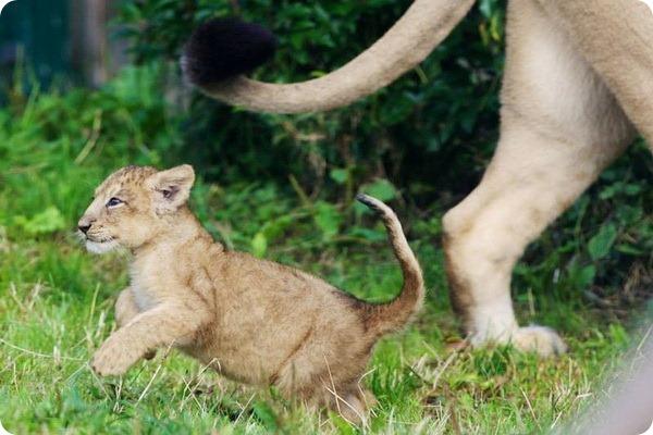 Детеныш азиатского льва из зоопарка Дублина