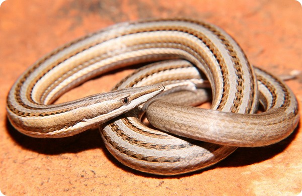 Полосатый лиалис (лат. Lialis burtonis)