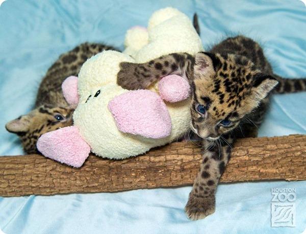 Зоопарк Хьюстона представил детенышей дымчатого леопарда