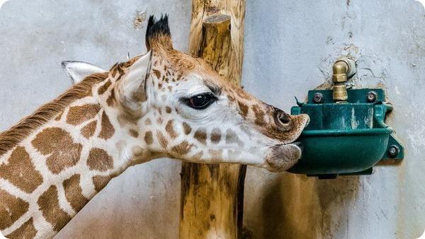 Счастливый детеныш жирафа из зоопарка Праги