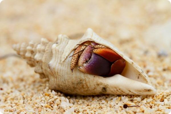 Карибский краб-отшельник (лат. Coenobita clypeatus)