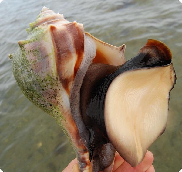 Узловатый бусикон (лат. Busycon carica)