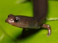 Веретеновидные саламандры