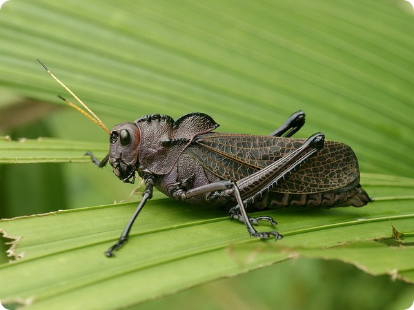 Американская кобылка Taeniopoda reticulata