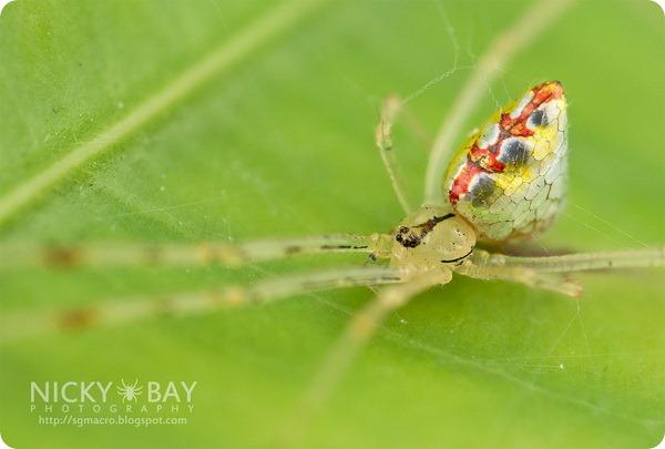 Зеркальный паук (лат. Thwaitesia sp.)
