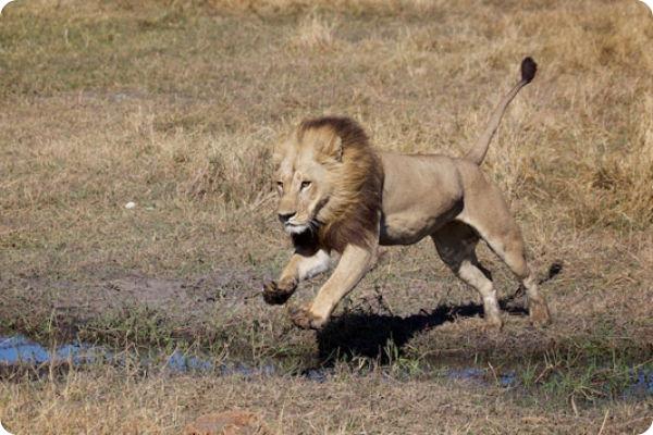 Львица с гривой