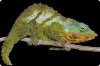 Google Earth помогает открывать новые виды хамелеонов