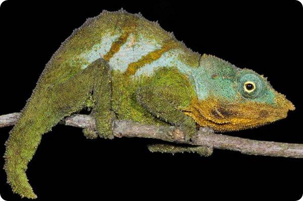 Карликовый хамелеон Rhampholeon maspictus