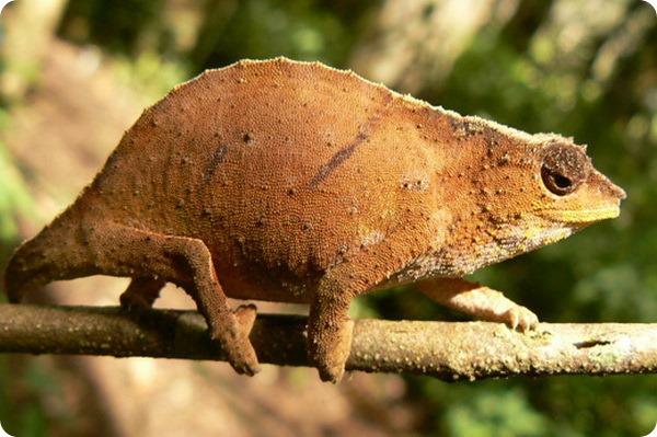 Карликовый хамелеон Rhampholeon bruessoworum