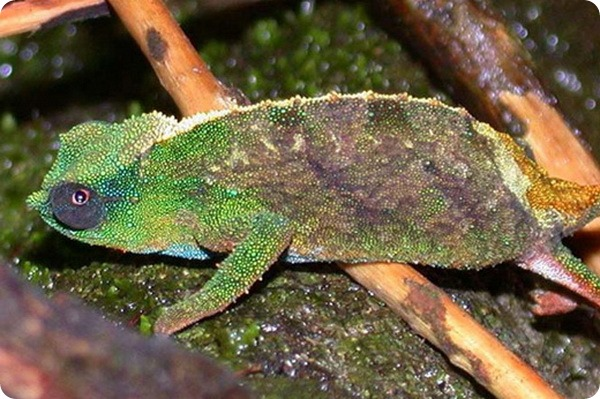 Карликовый хамелеон Rhampholeon nebulauctor