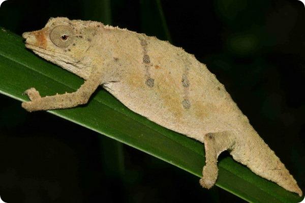 Карликовый хамелеон Rhampholeon tilburyi