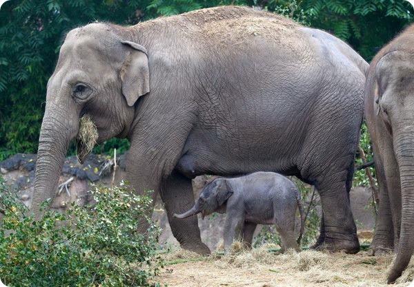 Зоопарк Дубліна представив третього слоненяти - все про тварин