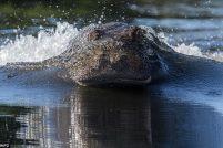 Преследование бегемота на реке Чобе в Ботсване