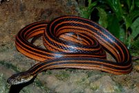 Красно-черная полосатая змея