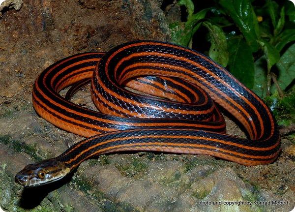 Красно-черная полосатая змея (лат. Bothrophthalmus lineatus)