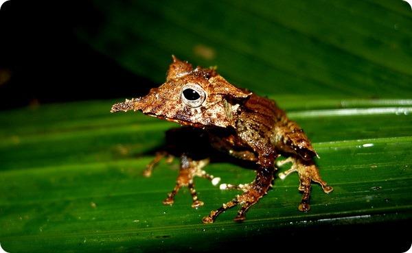 Желторотая квакша (лат. Hemiphractus proboscideus)