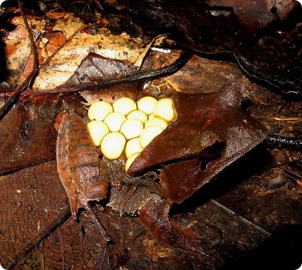 Квакша-треуголка (лат. Hemiphractus scutatus)
