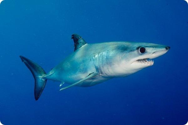 Акула-мако (лат. Isurus oxyrinchus)