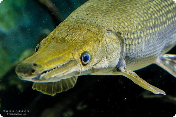 Панцирная щука (лат. Lepisosteidae)
