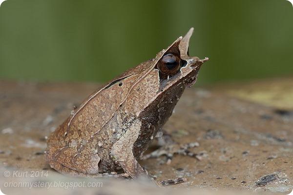 Носатая рогатая чесночница (лат. Megophrys nasuta)