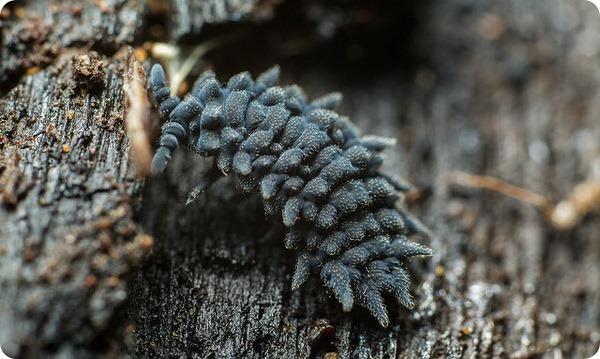 Ногохвостка Acanthanura sp.