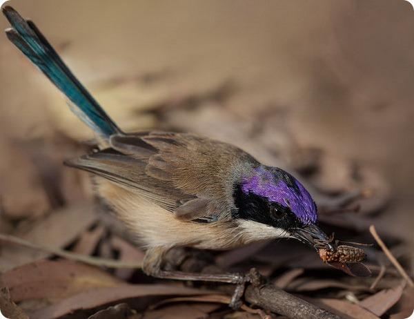 Лиловошапочный расписной малюр (лат. Malurus coronatus)