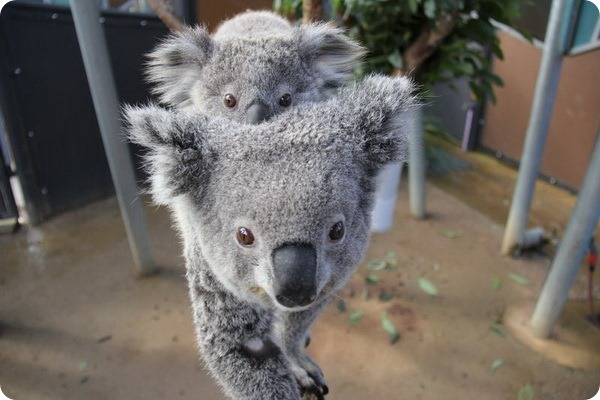 Новые коалы из австралийского зоопарка Таронга