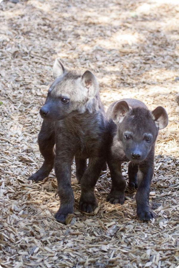 В зоопарке Денвера подрастают детеныши пятнистой гиены