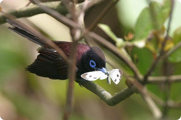 Черная райская мухоловка (лат. Terpsiphone atrocaudata)
