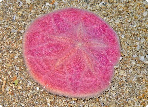 Розовый плоский морской еж (лат. Peronella lesueuri)